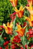Fondo anaranjado de los tulipanes Fotos de archivo
