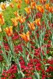 Fondo anaranjado de los tulipanes Foto de archivo