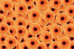 Fondo anaranjado del Gerbera Fotografía de archivo libre de regalías