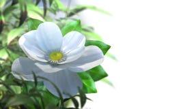Fondo animado cada vez mayor del lapso de tiempo de la flor de la magnolia stock de ilustración