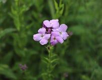 Fondo apacible del longipetala del Matthiola de la primavera violeta de las flores de noche conocido como la acción noche-perfuma Foto de archivo