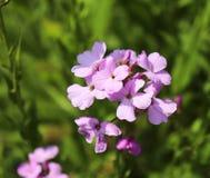 Fondo apacible del longipetala del Matthiola de la primavera violeta de las flores de noche conocido como la acción noche-perfuma Fotos de archivo