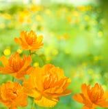 Fondo arancio del fiore Fotografie Stock Libere da Diritti