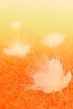 Fondo arancio del fiore dell'albero del veleno del pesce di tono Fotografia Stock