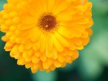 Fondo arancio della calendula del fiore Colpo a macroistruzione estremo immagini stock