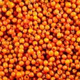 Olivello spinoso arancio del fondo delle bacche Fotografie Stock