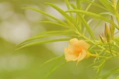Fondo arancio di morbidezza dell'oleandro Fotografia Stock Libera da Diritti