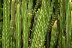 Fondo ascendente cercano de la textura del cactus imágenes de archivo libres de regalías