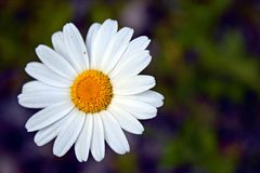 Fondo ascendente y borroso del cierre de la flor blanca Imagen de archivo libre de regalías