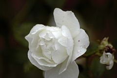 Fondo ascendente y borroso del cierre de la flor blanca imagenes de archivo
