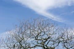 Fondo asciutto del cielo blu dei rami di albero immagini stock libere da diritti