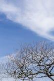 Fondo asciutto del cielo blu dei rami di albero fotografia stock