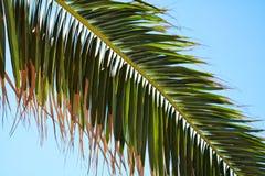 Fondo asciutto della palma, fondo tropicale Fotografia Stock Libera da Diritti