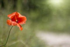Fondo astratto con il papavero selvatico Fotografia Stock Libera da Diritti