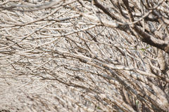 Fondo astratto dei branchs dell'albero del frangipane Immagini Stock