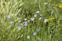 Fondo astratto dei fiori blu e bianchi dell'erba, Grande, fondo di alta risoluzione e vago Fotografie Stock Libere da Diritti