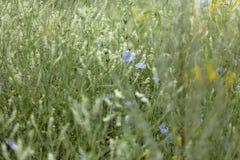 Fondo astratto dei fiori blu e bianchi dell'erba, Grande, fondo di alta risoluzione e vago Fotografia Stock Libera da Diritti