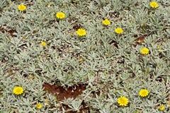 Fondo astratto della pianta succulente Fotografia Stock Libera da Diritti