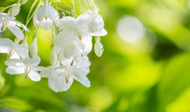 Fondo astratto della sfuocatura dei fiori bianchi Immagine Stock Libera da Diritti