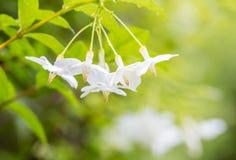 Fondo astratto della sfuocatura dei fiori bianchi Immagini Stock