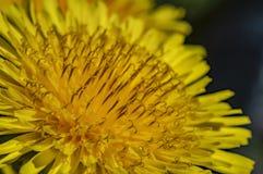 Fondo astratto luminoso - macro foto di un fiore del dente di leone Fuoco selettivo immagini stock libere da diritti
