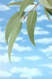 Fondo australiano del cielo del árbol de goma Imagen de archivo