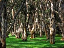 Fondo australiano del terreno boscoso Fotografia Stock Libera da Diritti