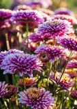 Fondo autunnale rosa variopinto del crisantemo Fotografia Stock Libera da Diritti