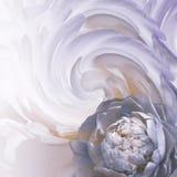 Fondo azul-blanco-púrpura floral abstracto Una flor de una peonía azul clara en un fondo de pétalos torcidos Tarjeta de felicitac fotos de archivo