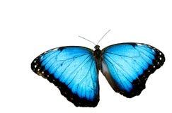 Fondo azul del blanco de la mariposa de Morpho Fotografía de archivo