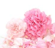 Fondo bastante rosado de los claveles Imagen de archivo
