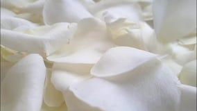 Fondo beige che cade, movimento lento dei petali di Rosa video d archivio