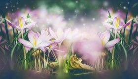 Fondo bello della natura di primavera con i croco e la fioritura di bucaneve immagine stock