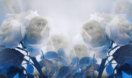 Fondo bianco-blu di estate floreale bello Un mazzo tenero delle rose bianche con il blu va sul gambo dopo la pioggia con immagini stock libere da diritti