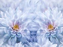 Fondo bianco-blu floreale dell'acquerello dei fiori del crisantemo La sorgente fiorisce il primo piano Collage del fiore fotografie stock