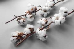 Fondo bianco con il ramo della pianta di cotone immagini stock libere da diritti
