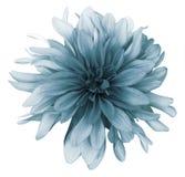 Fondo bianco del turchese del fiore d'annata della dalia isolato con il percorso di ritaglio closeup Per il disegno immagini stock