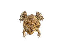 Fondo bianco dell'isolato della rana con il percorso di ritaglio Immagine Stock Libera da Diritti