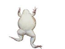 Fondo bianco dell'isolato della rana con il percorso di ritaglio Fotografia Stock