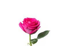 Fondo bianco della rosa di rosa isolato Fotografie Stock