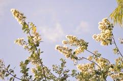 Fondo bianco delle fioriture del mirto di crêpe Fotografie Stock Libere da Diritti