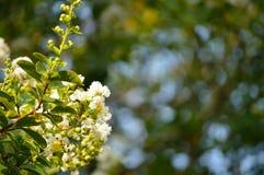 Fondo bianco delle fioriture del mirto di crêpe Immagini Stock Libere da Diritti