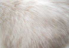 Fondo bianco di struttura della pelliccia del gatto persiano del primo piano Fotografia Stock Libera da Diritti