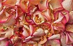 Fondo bianco e di rosa dei petali rosa Fotografie Stock Libere da Diritti