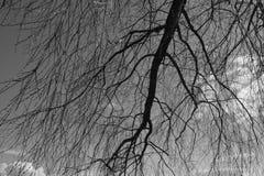 Fondo in bianco e nero degli alberi Fotografia Stock Libera da Diritti