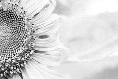 fondo bianco e nero del girasole Fotografia Stock