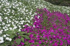 Fondo bianco e porpora del giacimento di fiore Immagini Stock