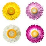 Fondo bianco isolato fiore della paglia di bracteatum del Helichrysum Fotografia Stock Libera da Diritti