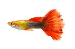 Fondo bianco isolato pesce del Guppy immagini stock