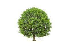 Fondo blanco aislado árbol Imagen de archivo libre de regalías